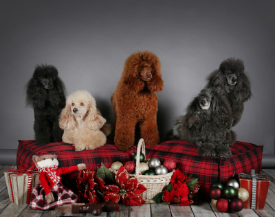 Happy Handful of Christmas Poodles